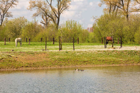 Horses, ducks and geese in a meadow filled with white flowers Standard-Bild