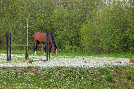 Close up of a horses and geese in a meadow filled with white flowers