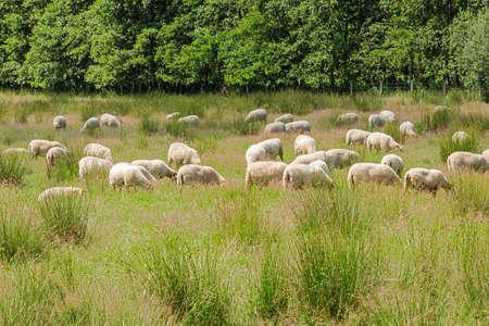 Herd of grazing sheep in a meadow near the Dutch border in De Clinge