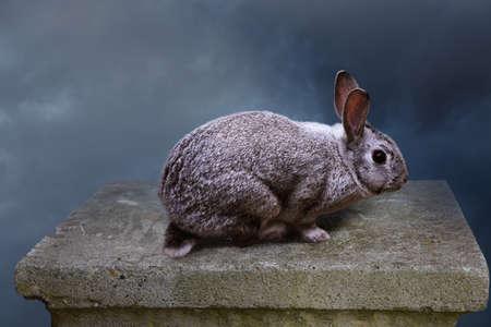 domestication: Grey baby rabbit