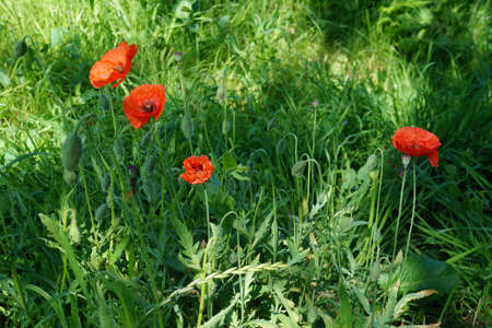 Papaver rhoeas red flower common names include corn poppy corn rose field poppy Flanders poppy red poppy red weed coquelicot Stock Photo
