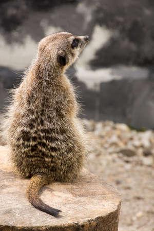 Cute Meerkat (Suricata Suricatta) on stone guards his territory.