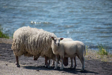 Sheeps on a dike on Texel island in The Netherlands Archivio Fotografico