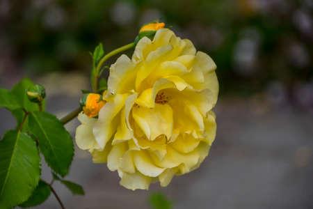 Rose flower closeup. Shallow depth of field. Spring flower of yellow rose Banco de Imagens - 116951211