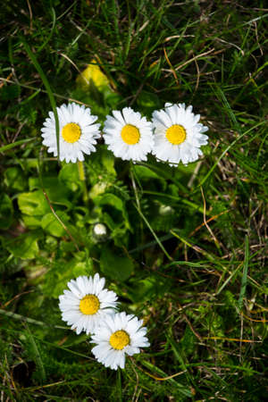 White daisy (Bellis Perennis) aka Common daisy or Lawn daisy or English daisy flower bloom