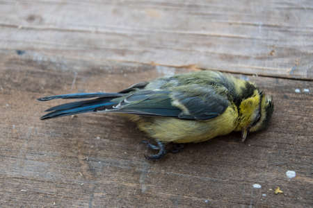 Dead bird (Blue tit) background in nature 版權商用圖片 - 121188974