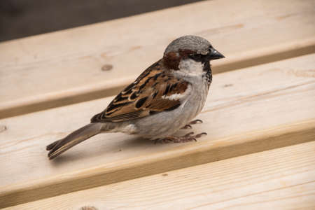 House sparrow on wooden table. Sparrows are accustomed to the urban environment Stock Photo