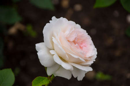 Rose flower closeup. Shallow depth of field. Spring flower of white rose. 免版税图像