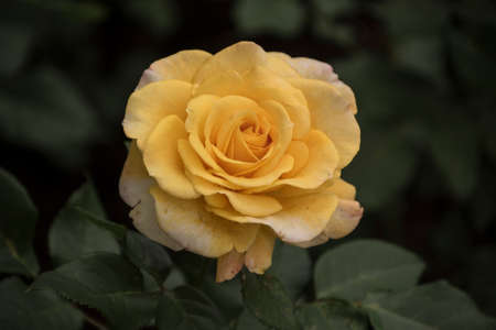 Beautiful big yellow rose on blured background. Yellow rose on the bush. Delicate rose macro.