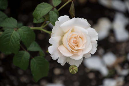 Rose flower closeup. Shallow depth of field. Spring flower of white rose.