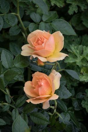 Beautiful big pale orange rose on blured background. Orange rose on the bush. Delicate rose macro. Stock Photo