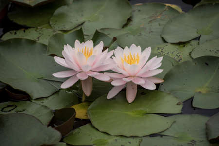 European White Waterlily, Water Rose or Nenuphar, Nymphaea alba, flowers at pond close-up