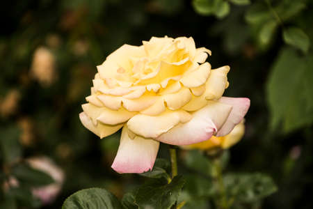 Beautiful big yellow rose on blured background. Yellow rose on the bush. Delicate rose macro. 免版税图像