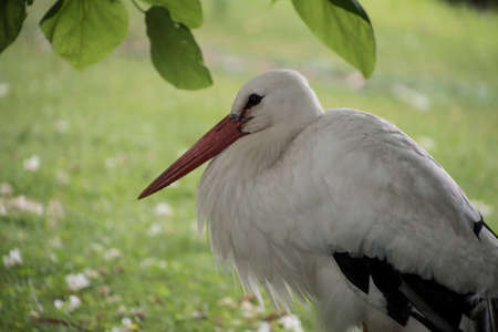 White stork closeup in park in the meadow