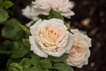 Rose flower closeup. Shallow depth of field. Spring flower of white rose. Banco de Imagens