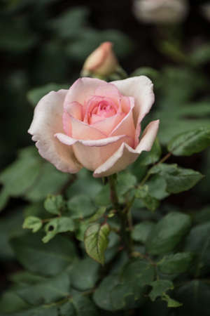 Rose flower closeup. Shallow depth of field. Spring flower of pink rose 免版税图像