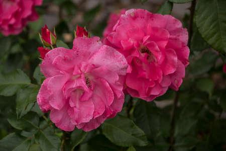 Rose flower closeup. Shallow depth of field. Spring flower of pink rose Banco de Imagens