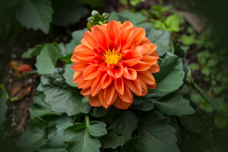 Beautiful orange blooming dahlia, green background