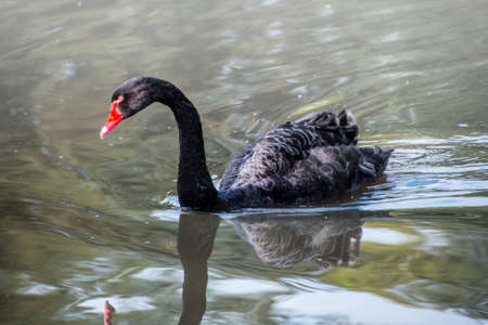 Black swan, Cygnus atratus wild bird relaxing on water. Australian black swan close up portrait