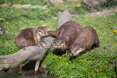 European otter (Lutra lutra), also known as Eurasian otter