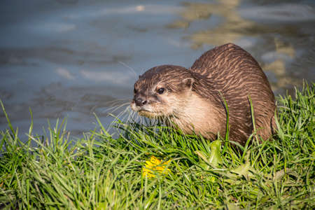 Close up of a single European otter (Lutra lutra)