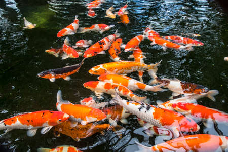 Bright red Koi fishes swim in an open pond, red, white and orange fish in open water.