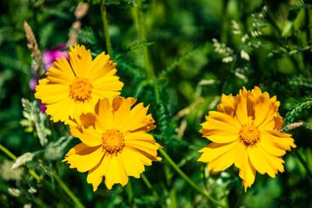 Yellow cosmos or Cosmos sulphureus, sulfur cosmos. Flower. Nature.