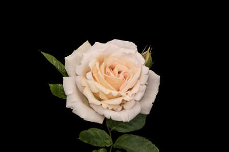 White rose flower closeup, isolated on black background