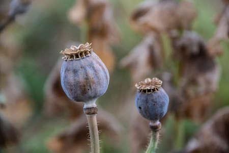 Cabezas de semillas de adormidera madura, Papaver somniferum, amapolas orientales