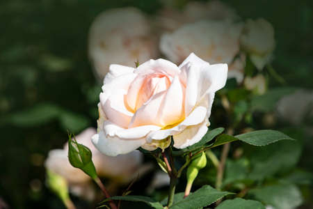 Rose flower closeup. Shallow depth of field. Spring flower of white and pink rose