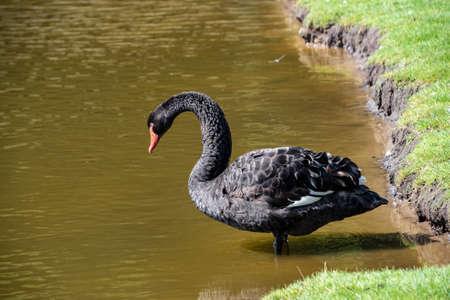 Australian black swan, Cygnus atratus, portrait. Close up of black swan head with red beak and eyes