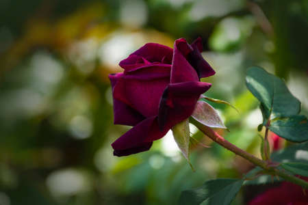 Rose flower closeup. Shallow depth of field. Spring flower of purple rose