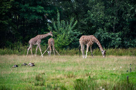 Giraffes in the zoo. Keeping wild animals in captivity Stock Photo