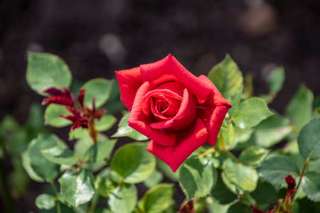 Red rose flower closeup. Shallow depth of field, blurred background