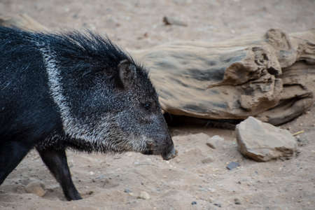 Collared peccary or javelina. Collared peccaries are pig-like animals that inhabit the deserts.
