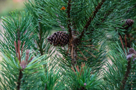 Pine cones on branches with holiday background Zdjęcie Seryjne