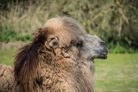 Bactrian camel, Camelus bactrianus is a large, even-toed ungulate native to the steppes of Central Asia.