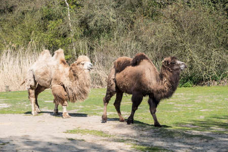 Bactrian camels, Camelus bactrianus is a large, even-toed ungulate native to the steppes of Central Asia.