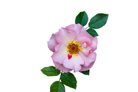 Flower of rosa odorata. Wild rose isolated on white background.