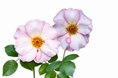 Flowers of rosa odorata. Wild roses isolated on white background. Stock Photo