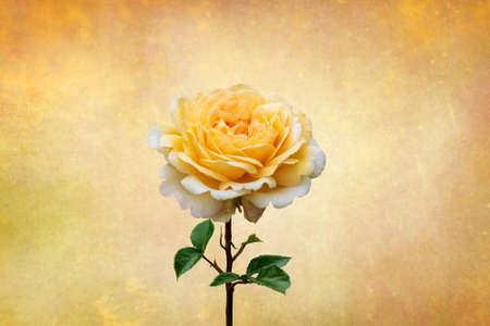 Yellow rose, spring and summer flower closeup on vintage background