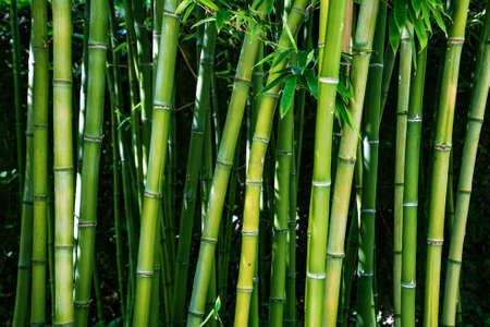 Bamboo branch in bamboo forest, Beautiful natural bamboo background, selective focus Standard-Bild