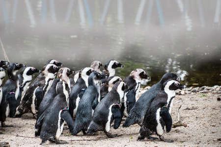 Magellan Penguins (order Sphenisciformes, family Spheniscidae) are a group of aquatic, flightless birds living almost exclusively in the southern hemisphere, especially in Antarctica Stock fotó