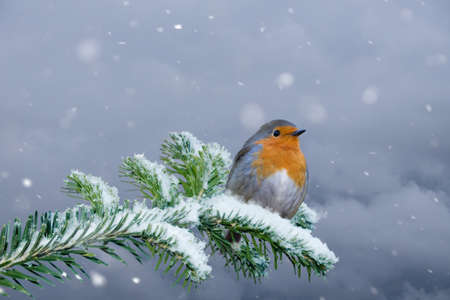 European Robin - Erithacus rubecula sitting, perching in snowy winter, spruce with the snow in the background