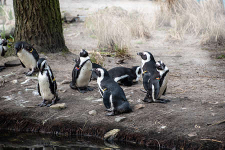 A group of Magellan Penguins