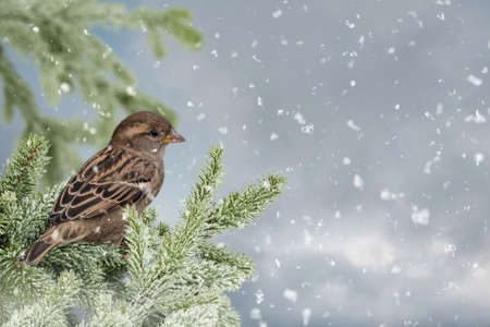 Eurasian Tree Sparrow (Passer montanus) sitting, perching in snowy winter, spruce with the snow in the background