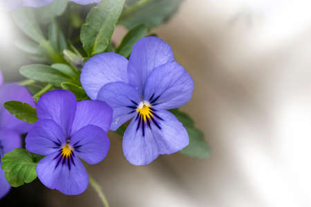 Violet pansy flowers, vivid spring colors against a lush green background. Macro images of flower faces. Pansies in the garden