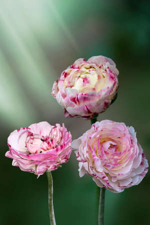 Close up of pink ranunculus (buttercup) frlowers in the springtime