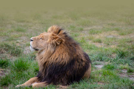 Large male lion with a thick bushy mane around his head sleepy in the sun
