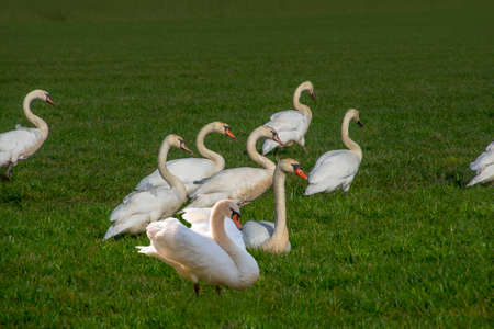 Group of white swans walking over green meadows in the winter Standard-Bild